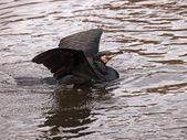 Black cormorant on water — Stock Photo