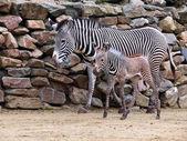 Zebra with baby near rocks — Stock Photo