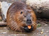 Beaver Rat sitting carrot on rocks — Foto de Stock
