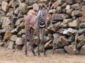 Young Zebra near rocks — Stock Photo