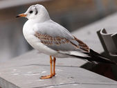 Close up of white Gull — Stock Photo