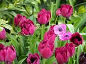 Pink Tulips and anemones — Stock Photo