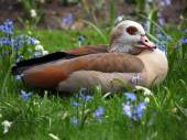 Egyptian Goose sitting on grass — Stock Photo