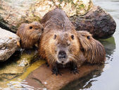 Beaver rat with babies near water — Stock Photo
