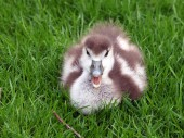 Gosling sitting on grass — Stock Photo