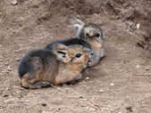 Two little Pampas hare — Stock Photo