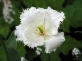 White Tulip on green — Stock Photo