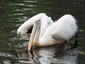 Pelican cleaning his feathers in the water — Stock Photo