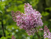 Close up of blooming lilac — Stock Photo