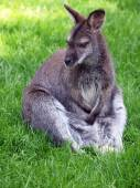 Wallaby sitting on grass — Stock fotografie