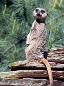 Cute Meerkat with fur-tree — Stock Photo