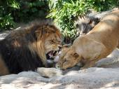 Lion and lioness and lioness — Stock Photo