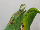 Agama on green leaf — Stock Photo
