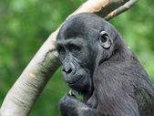 Portrait of a gorilla youngster — Stock Photo