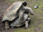 Mating giant turtles — Stock Photo
