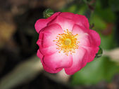 Bliska dzikiej róży — Zdjęcie stockowe