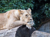 Lioness laying on wooden log — Stock Photo