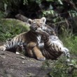 Playing tiger cubs — Stock Photo #62565619