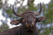Portrait of Male Banteng — Foto de Stock