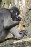 Langur monkey sitting on tree — Stock Photo