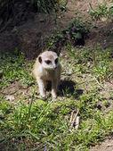 Meerkat baby — Stock Photo
