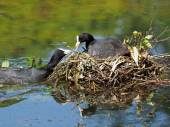 Father coot is bringing nest material — Stock Photo
