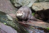 Otter on the stone — Stock Photo