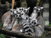 Ringtailed lemurs — Stock Photo