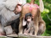 Close up of Baboons — Stock Photo