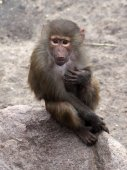 Baboon youngster on the stone — Stock Photo