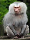 Close up of Baboon — Fotografia Stock
