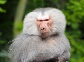 Close up of Baboon — Stock Photo