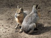 Pampa hare youngsters — Stock Photo
