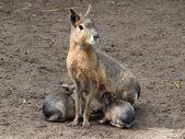 Mara is feeding her children — Stock Photo