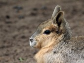 Pampa hare — Stock Photo