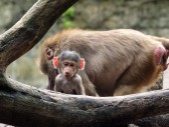 Baboon baby near the tree — Stock Photo