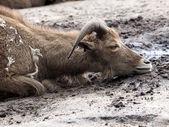 Chèvre, couché sur le sol — Photo