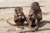 Young male baboons — Stock Photo