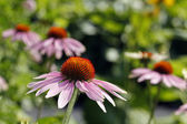 Close up of echinacea flowers — Stock Photo