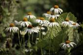 White echinacea flowers — Stock Photo