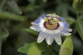 Close up of Passion flower — Stock Photo
