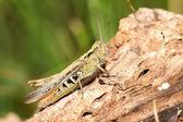 Close up of Grasshopper — Stock Photo