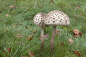 Macrolepiota procera and grass — Stock Photo
