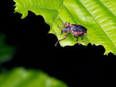Beetle on the leaf — Stock Photo