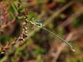 Close up of Emerald Damselfly — Stock Photo