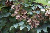Close up of Acer pseudoplatanus — Stock Photo