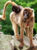 Berber Monkey mother with children — Foto de Stock