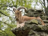 Barbary sheep — Stock Photo