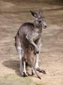 Kangaroo mother and her child — Stock Photo