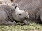 Rhino youngster — Stock Photo